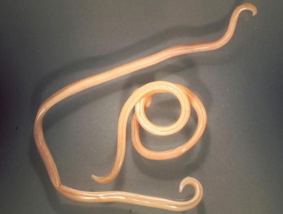Naturalhelp-paraziták-orsóféreg-TOXOCARA CANIS